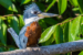 Advanced~Suzanne_Dater~Brazilian_Blue_Kingfisher