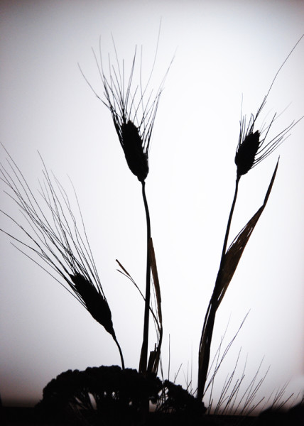 CO2~2~Advanced~Margaret~Sprott~Silhouette_Of_Weeds~68