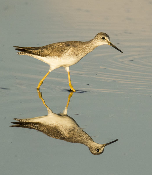 CO4~1~Advanced~Margaret~Sprott~Lesser_Yellowlegs~56