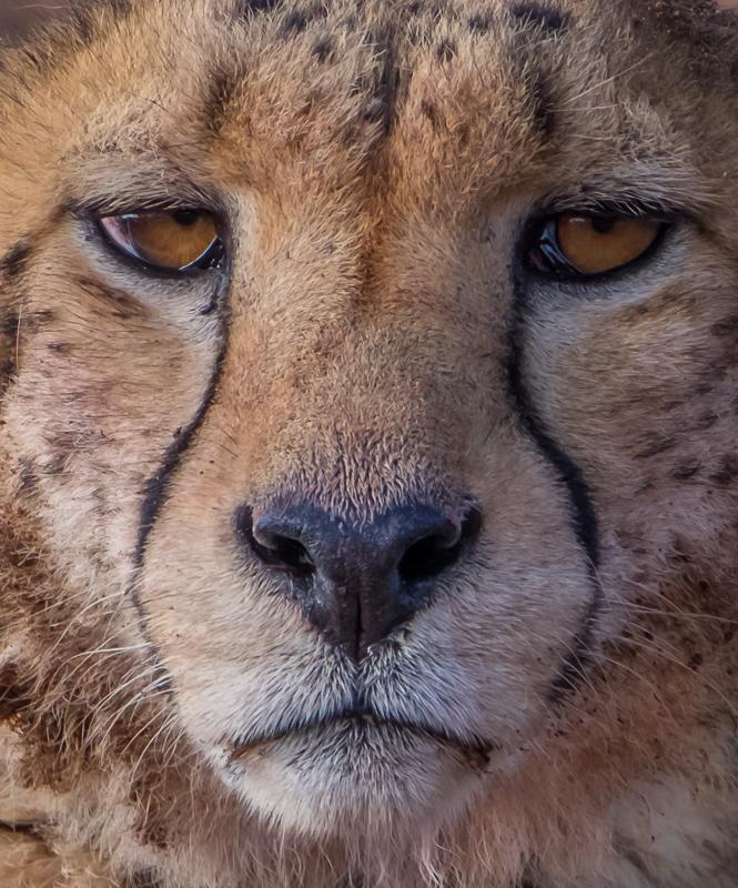 CO5~1~Advanced~John~Norvell~Cheetah_Up_Close~55
