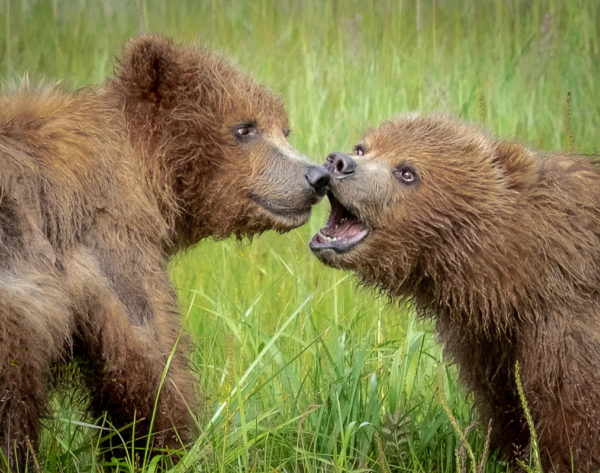 (HM) Advanced~Kay Norvell~Brown Bear Cubs