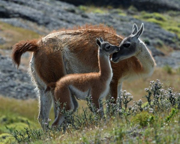 Novice~Karen_Goldman~Guanaco_Bonding_With_Baby