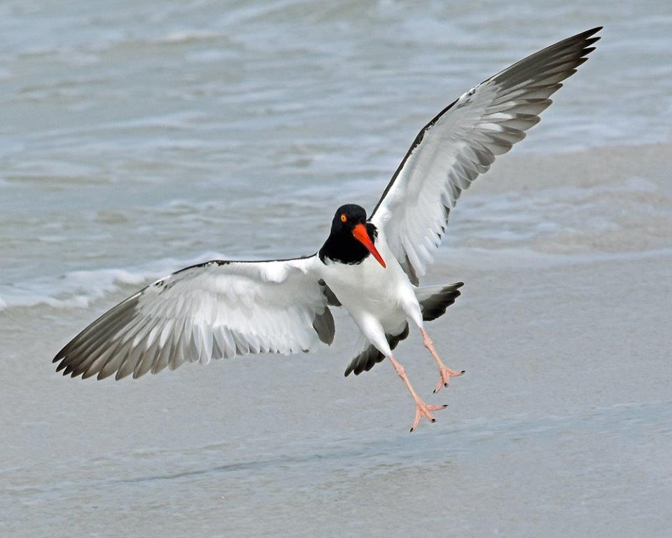 Novice~Karen_Goldman~Oystercatcher's_Swift_Landing